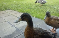 Appeal for information after three ducks stolen from nursing home