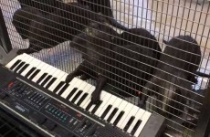Turns out even otters can't resist pushing piano keys