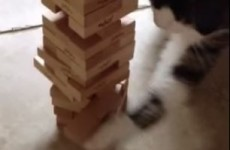 This cat is probably better at Jenga than you are