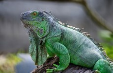 Going to the World Cup? Don't buy an iguana, Brazil warns