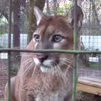 This cougar is definitely saying wow