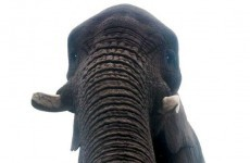 Is this the world's first elephant selfie?