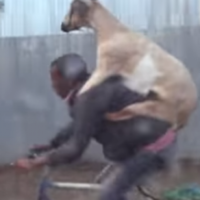 This goat getting a backer on its owner's bike is the greatest thing you'll see today