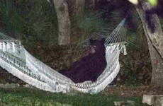 Just a bear in a hammock, chillin' like a villain