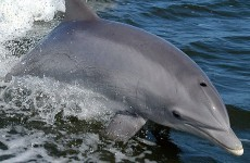 A new 'solitary' dolphin's moved to Irish waters... swimmers are being urged to keep their distance