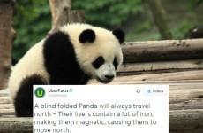UberFacts tweeted a fake panda 'fact' from David O'Doherty's book