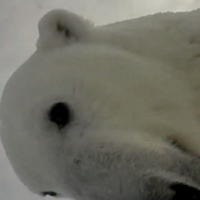 Scientists strapped a camera to a polar bear... now see the footage