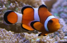 Fish with protective parents (like Nemo) are more likely to evolve into new species