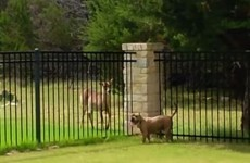 Excited dog and deer have a ball racing each other