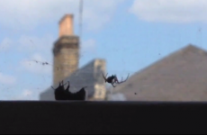 Bumblebee comes to the rescue of another bee caught in a spider's web