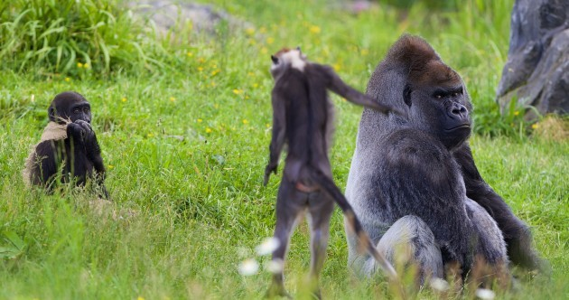 There's a new kind of monkey at Dublin Zoo, and they look awesome