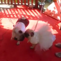 This adorable little pug wedding is just TOO MUCH