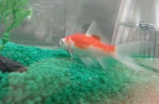 A goldfish named Lionel is predicting the World Cup for TV3