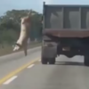 Hero pig makes amazing leap to freedom from slaughterhouse truck