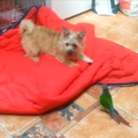 Adorable Irish pup and parrot argue over valuable blanket space