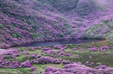 Couple in their 50s rescued from rhododendron forest in Tipperary