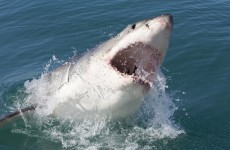 Despite what you may have heard, great white sharks are NOT at risk of extinction