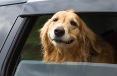ISPCA warns that 'dogs die in hot cars' and leaving the window open isn't enough