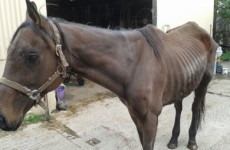 Horses that may have entered the food chain are now being abandoned and dying - ISPCA