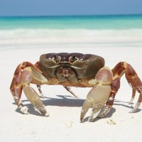 Hard of herring? Not us, say crabs