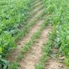 Less dangerous E. coli strain found in Dutch beet sprouts