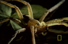 Fish-eating spiders exist, and here is horrifying proof