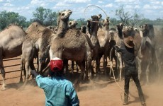 Australia may slaughter its wild camels to fight climate change