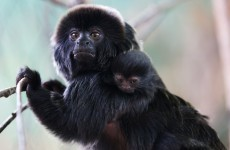 Dublin Zoo celebrates arrival of (very cute) baby Goeldi's monkey