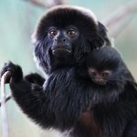 Dublin Zoo celebrates arrival of (very cute) baby Goeldi's monkey