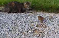 Gutsy chipmunk attacks cat, avoids becoming dinner