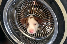 Adorable little puppy gets head stuck in wheel and breaks our hearts