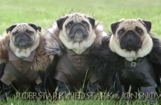 It's Game of Thrones, improved with pugs