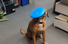 Dog fails miserably at catching even a single frisbee