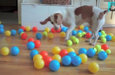 Dog surprised with 100 balls for his birthday, freaks out