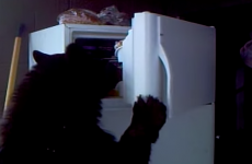 Bear fridge-raider is your new hero