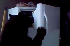 Bear fridge-raider is your new hero