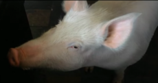 Her owners thought she was a micro-pig... but Esther's now 240kg and has raised $400k