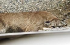Mountain lion goes shopping, hangs outside steakhouse