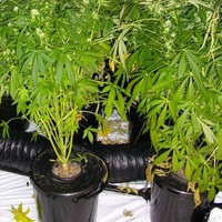 One arrest after €80k worth of cannabis plants seized in Killarney