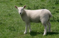 Sheep shearing: US school hopes grazing will save $15,000 in landscaping costs