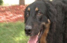 Dog pukes up missing wedding ring five years after it was lost