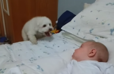 Adorable puppy tries his very best to make friends with newborn baby