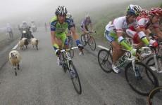 Camera-wearing sheep to film Tour de France