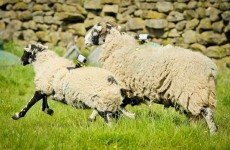 Sony is enlisting five sheep in Yorkshire to film the Tour de France