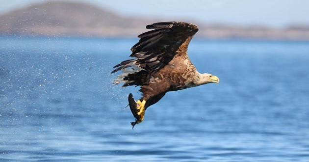 Here's how you can see the first White Tailed Sea Eagles born in Ireland in over a century
