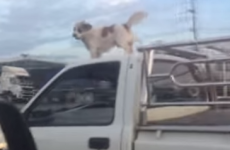 Super-dog gets a ride on car roof