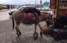 Ah nothing, just a dog getting a lift from a donkey in Dingle