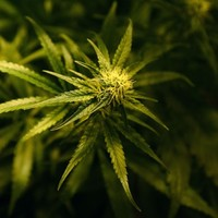 Medicinal cannabis will soon be legal and available for MS patients