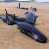 Five pilot whales die after pod gets stranded on Donegal beach