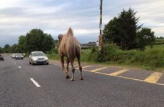 Activists 'alarmed' after circus camel walks into traffic